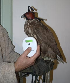Microchipping a falcon